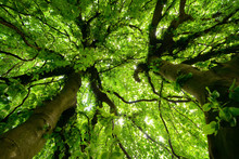 Worms Eye View Of Two Beautiful Trees And Their Canopy With Vibrant Green Foliage In Soft Light