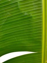 Close Up Banana Leaf Pattern.T...