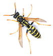 canvas print picture - European wasp, Polistes associus, isolated on white background, top view