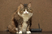 Brown With White Siberian Cat