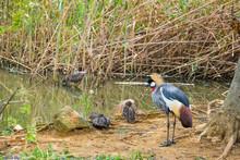 Golden-Crowned Crane In Natural Setting (Balearica Regulorum)
