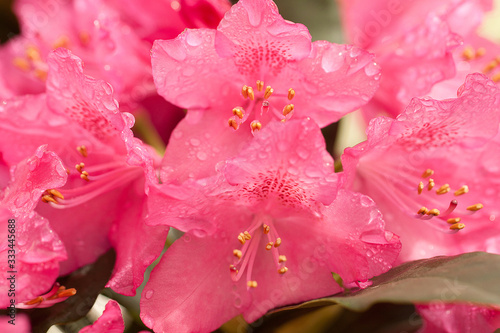 drops of water after summer rain on bright and delicate petals of rhododendron flowers #333445688