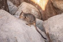 Rock Wallaby Beim Karotte Esse...