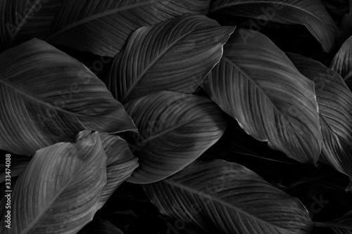 Papier Peint - leaves of Spathiphyllum cannifolium, abstract monochrome texture, nature background, tropical leaf