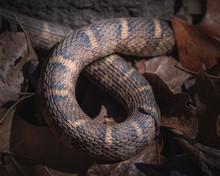Rat Snake Markings