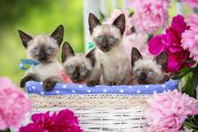 Four Siamese Kittens Are Sitt...