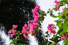 Pink Bougainvillea Flowers With Blue Sky Background