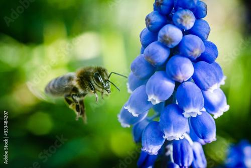 Photo abeille en vol butine une fleur, couleur en été