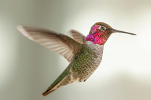Hummingbird Hovering In A Suburban Backyard