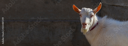 Goat breeding Wallpaper Mural