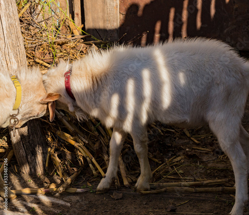 Photo The Saanen, is a Swiss breed of domestic goat