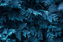 Thuja Branches In A Blue Tint....