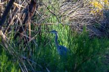Great Blue Heron In Arizona