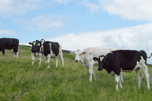 A Herd Of Black And White 'H...