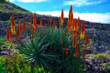 Colorful Blossom Of Aloe Vera Plant On Tropical Island La Palma, Canary, Spain