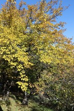 In Autumn The Leaves Of The Mulberry Tree Turned Yellow
