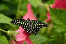 Tailed Jay (graphium Agamemnon...