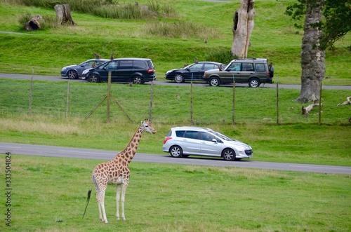 Visitors driving past giraffes at Longleaf Safari Park Wallpaper Mural