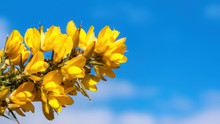 Yellow Gorse Flowers In Soft Spring Sunshine Against A Blue Sky