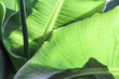 Hintergrund, Textur, Template: Bananenblätter mit Licht und Schatten, Ausschnitt