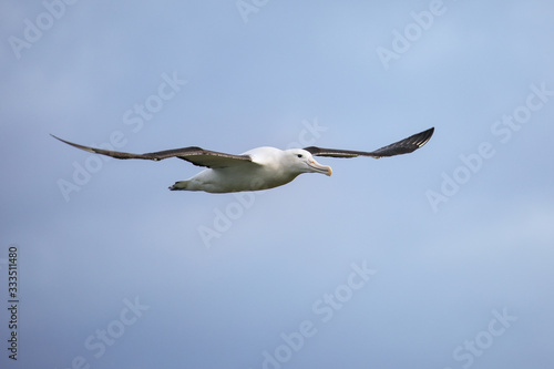 Northern royal albatross in flight, Taiaroa Head, Otago Peninsula, New Zealand Slika na platnu