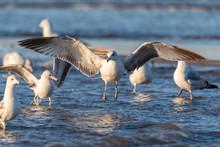 Large Flock Of Seagulls Wading...