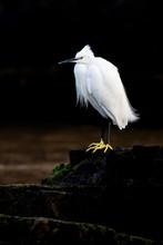 Egretta Garzetta, Little Egret...