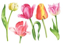 Watercolor Tulips Set Isolated...