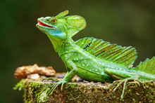 Male Plumed Basilisk (Basilisc...