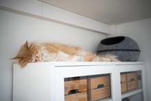 Tired Maine Coon Cat Sleeping ...