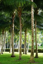 Tall Palm Trees In The Summer