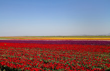 A Magical Landscape With Blue Sky Over Tulip Field In KONYA TURKEY.