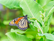 Monarch Butterfly Laying Her E...