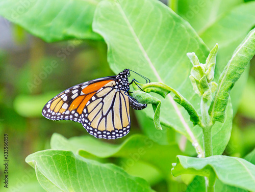 Obraz na plátně Monarch butterfly laying her egg on the underside of common milkweed plant