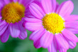 canvas print picture - pink margaret flower closeup
