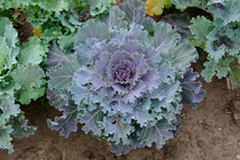 Bush Decorative Cauliflower To...