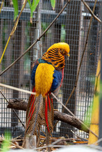 Golden Pheasant (Chrysolophus Pictus) With Its Back Feathers Showing And His Head Turned