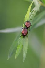 Two Dogbane Beetles Resting On A Leaf