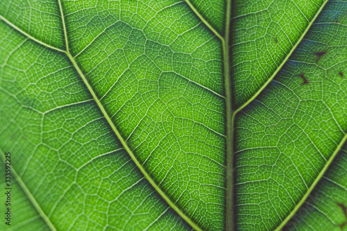 Fototapeta macro shot of fiddle leaf fig plant with sunglight highlighting its pattern obraz