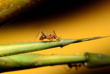 Ant Activity, Oecophylla Smara...