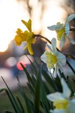 Couple Beautiful Daffodil Flow...