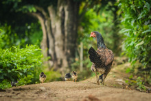 The Mother Hen Took The Baby Out To Walk And Earn A Living. In The Forest Area, There Was A Blurry Background.