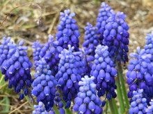Closeup Of Blue Grape Hyacinths