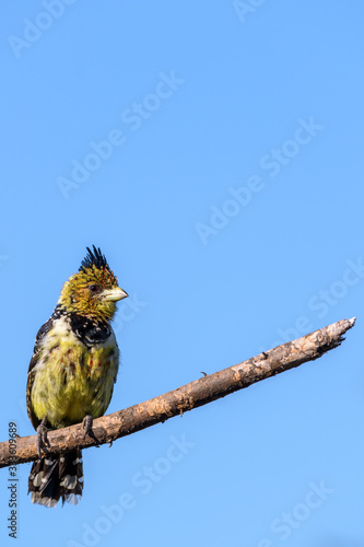 Photo Crested barbet (Trachyphonus vaillantii) perched on a branch