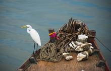 Pelicans Stood Looking For Foo...