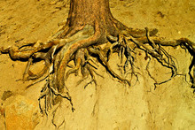 Exposed Tree Root Abstract