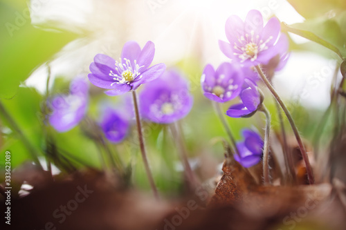 Photo anemone hepatica flowers in the spring forest