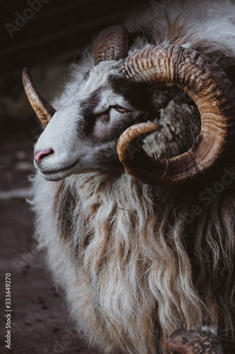 Photo portrait of  mountain sheep, ram close up