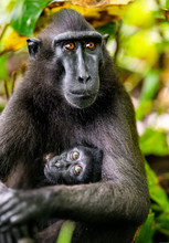 The Celebes Crested Macaque An...