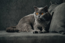 .British Shorthair Cat, Blue-gray Color With Orange Eyes. Lying On The Dark Sofa And Looking Back.